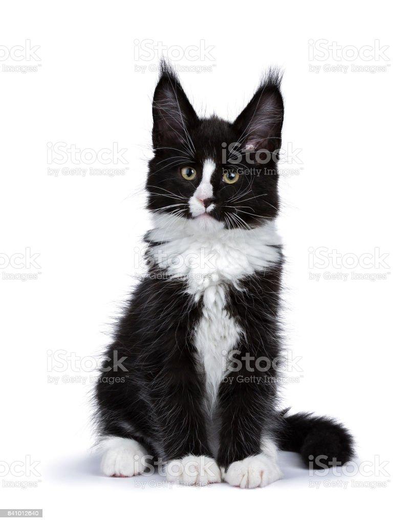 Zwart-wit Maine Coon kat kitten vergadering geïsoleerd op wit foto