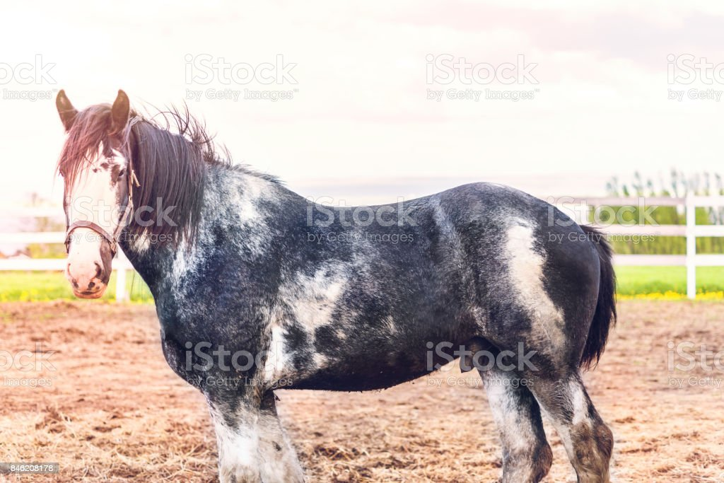 Black and white male horse during sunset by white wooden fence in farm field paddock in brown soil landscape with pink soft warm sun, sunlight, sunrays, rays stock photo