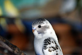 Black and white mix blue budgie, parakeet, Budgerigar bird with clay pot nest blurred bark background