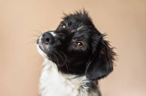 Black and white mix-breed puppy looks at camera and tilts head stock photo