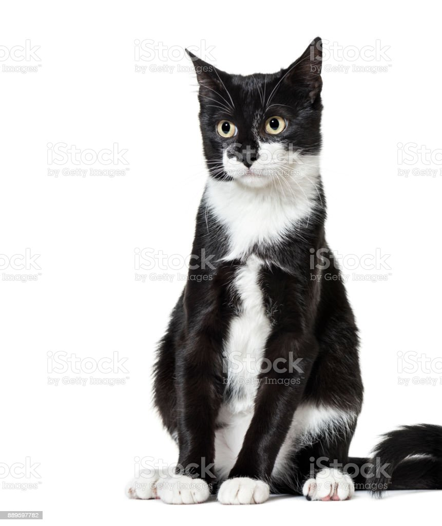 Black and white Mixed-breed cat (6  months old) stock photo