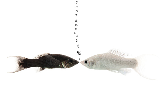 two fishes kissing isolated on white Concept multi ethnic couple
