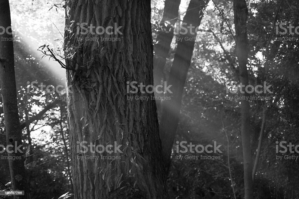 black and white morning sunlight through trees royalty-free stock photo