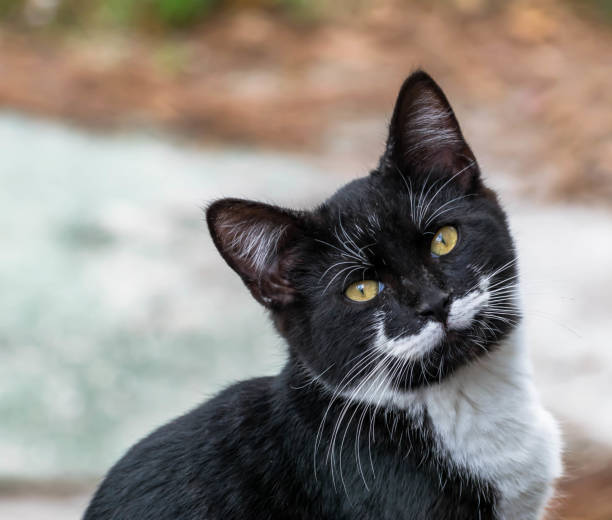Black and white mustache kitty picture id946920146?b=1&k=6&m=946920146&s=612x612&w=0&h=vznnbgmnxha1fpi jv4nhgrq4kkn9kkboc5uhxmr28u=