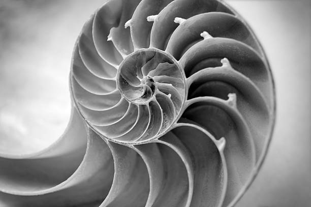 Black and white Nautilus Black and white image of a Nautilus shell close up. Selective focus is on the center of the shell. The focus falls off  on the sides to draw you into the shot. fine art statue stock pictures, royalty-free photos & images