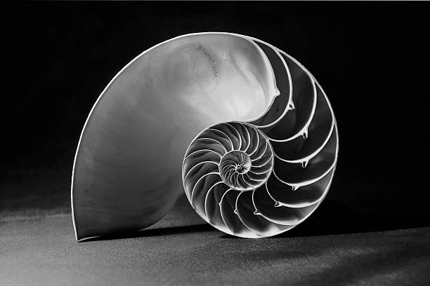 black and white nautilus shell with geometric pattern - nautilus stock pictures, royalty-free photos & images