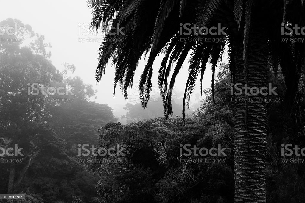 Black and white palm tree in fog, San Francisco stock photo