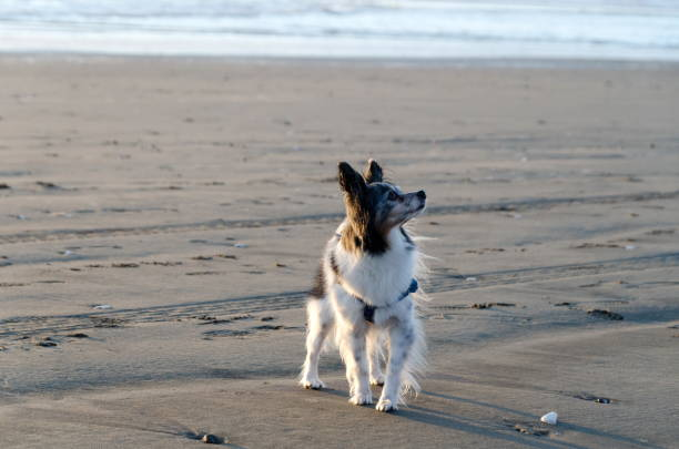 Black and white papillon watching his owner at sandy beach in Westport near Lighthouse state park stock photo