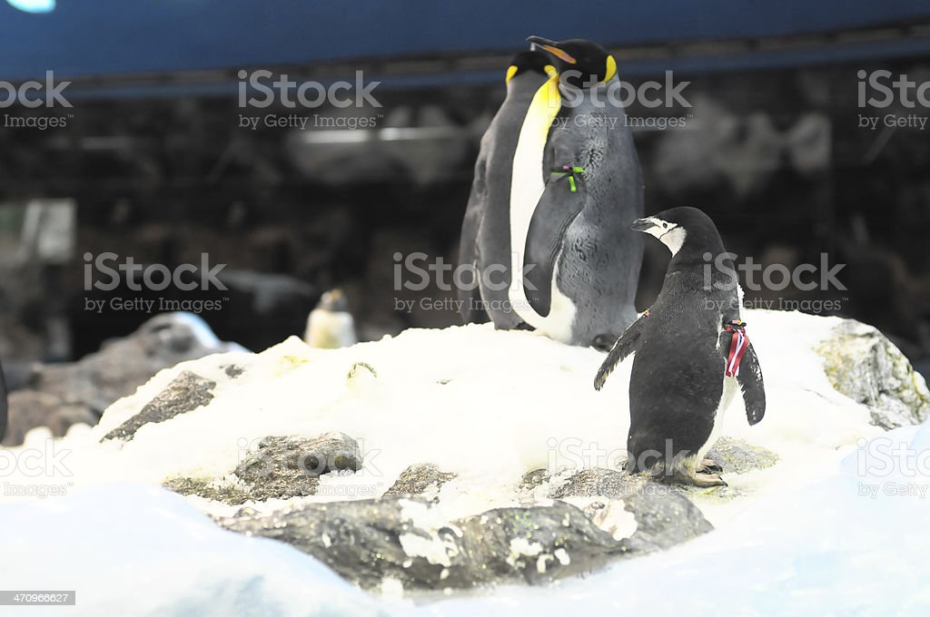 Black and White Penguin royalty-free stock photo