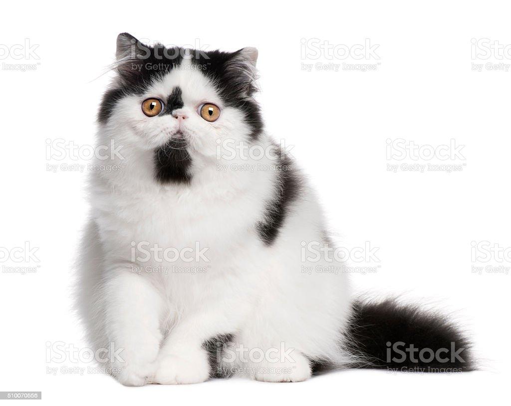 Black and white Persian cat sitting stock photo