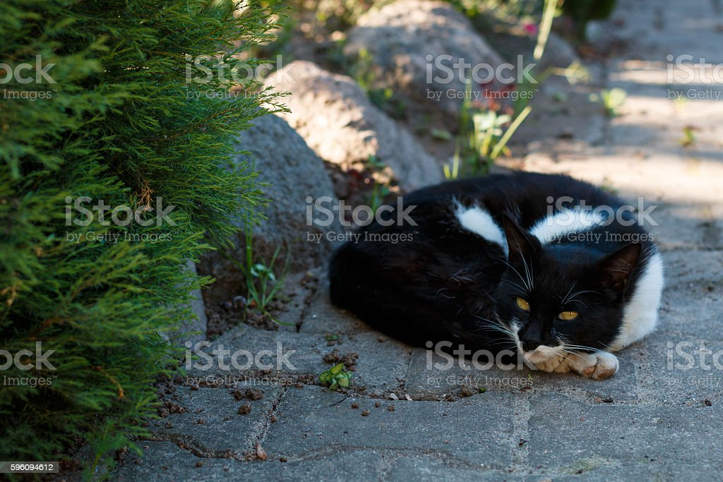 Black and white pet cat is lying on the ground royalty-free stock photo