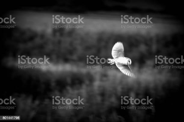 Black and white photo barn owl in flight flying picture id801441798?b=1&k=6&m=801441798&s=612x612&h=tcy1qixsiuf3lzkywfq1llymwdvuybztdedz2ohth5y=