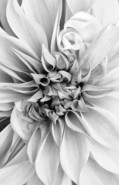 Black and white photo of a Dahlia stock photo