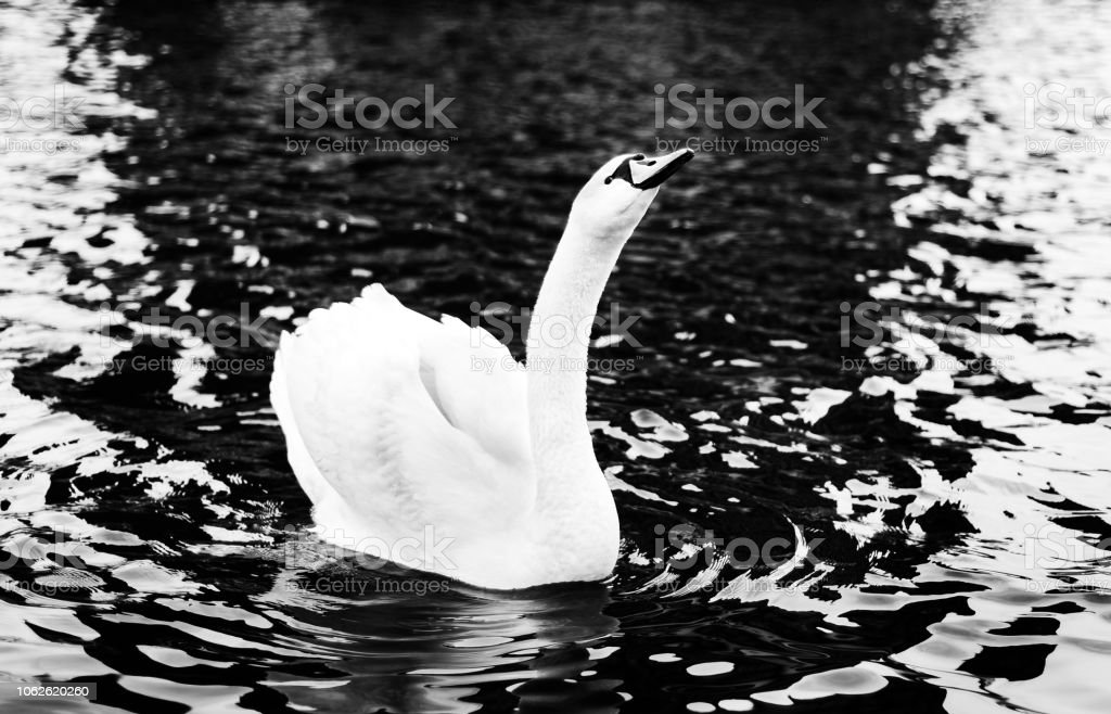 Black and white photo of a Mute Swan floating on water stock photo