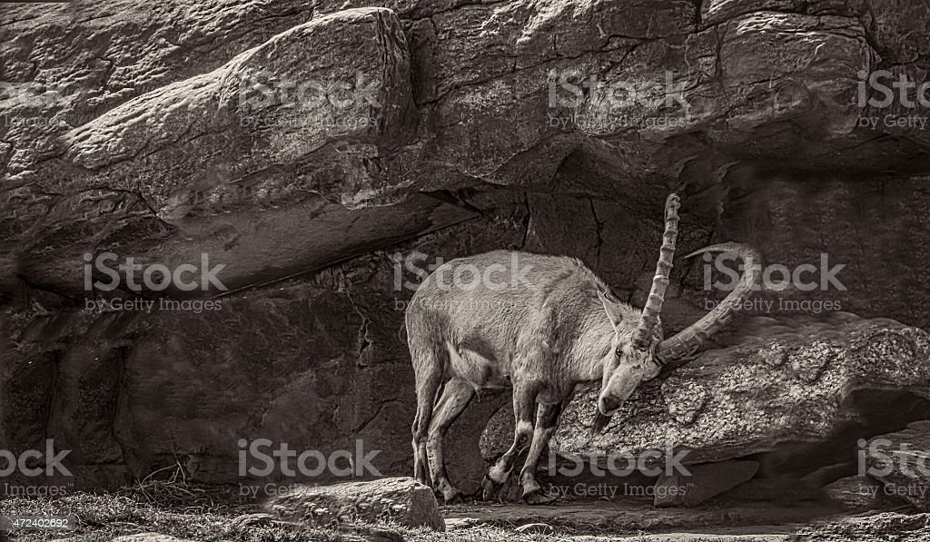 Black and White Photo of a Nubian Ibex Scrapping Horns stock photo