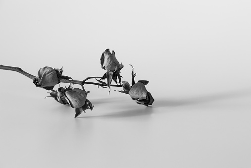 Black and white photo of a twig of fading flowers on a light background