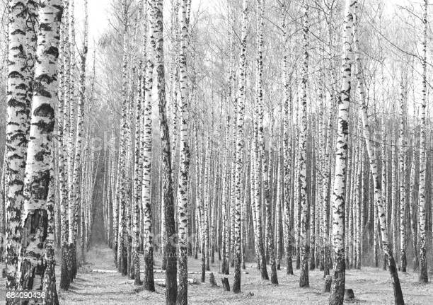 Photo of Black and white photo of birch grove in autumn
