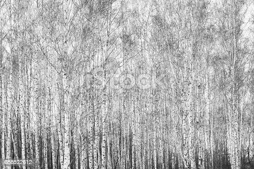 istock Black and white photo of birch grove in autumn 688522612
