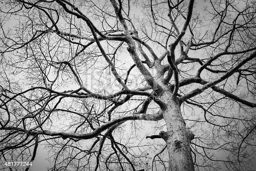 istock Black and white photo of dead winter tree,Thailand 481777244