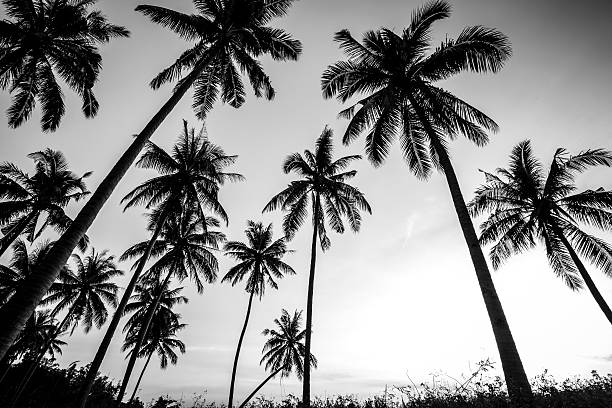 Black and white photo of palm trees stock photo