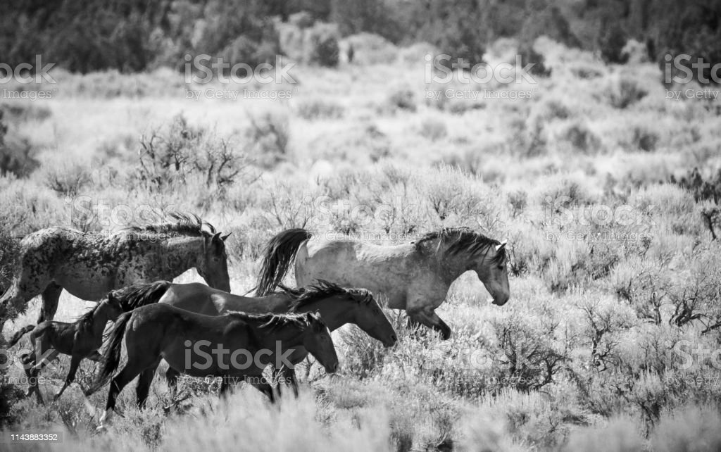 Black And White Photo Of Wild Horses In The Utah Desert Stock Photo Download Image Now Istock
