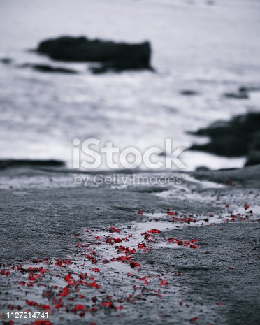 Black and white photo with red flower petals of rocks along the ocean seaside, in Acadia National Park Maine USA