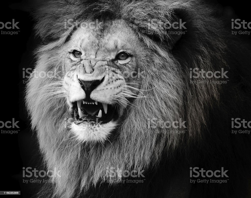 Black and white photograph of growling lion stock photo