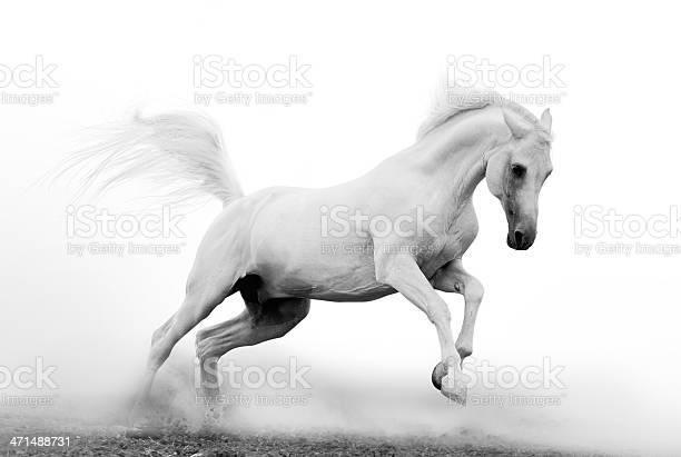 Black and white picture of a beautiful white arab stallion picture id471488731?b=1&k=6&m=471488731&s=612x612&h=o7h7l604uoua7lu42x mtox1n8vm2uk60hqpvtyr5ku=
