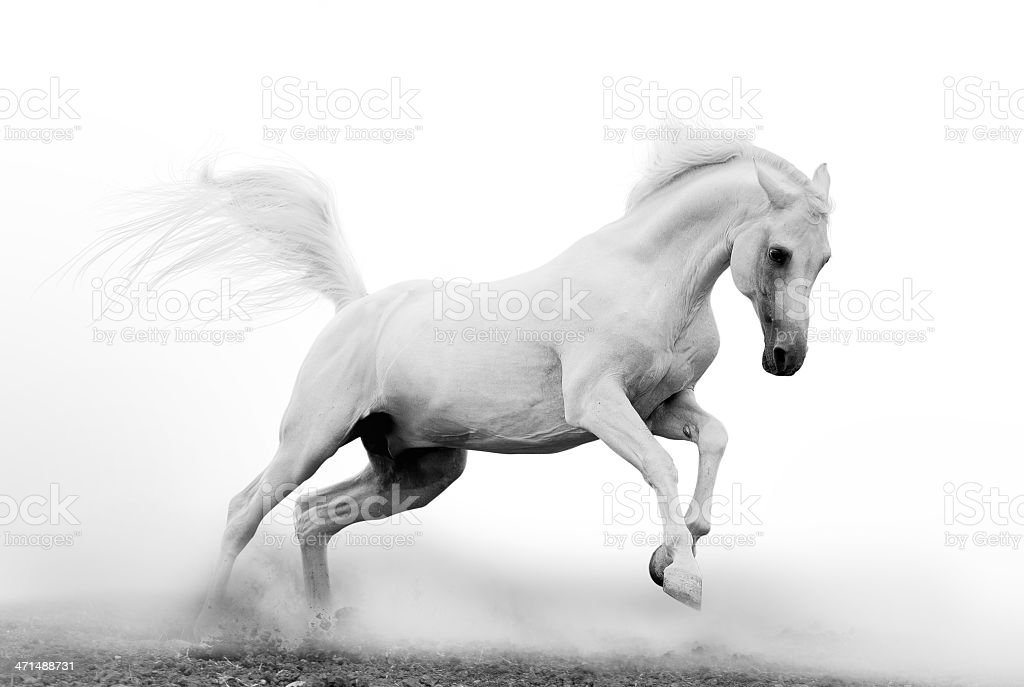 Black and white picture of a beautiful white arab stallion stock photo