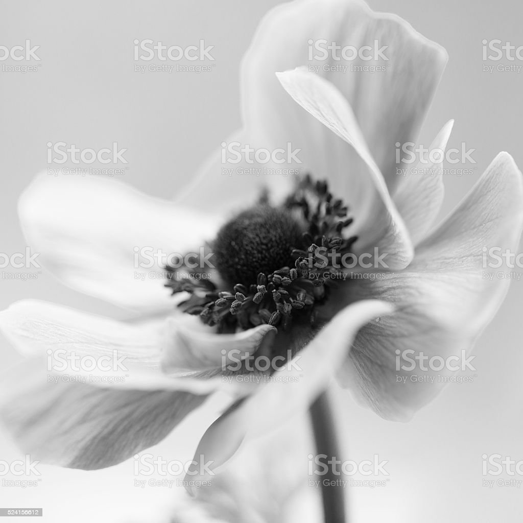 Black and white picture of a pretty flower stock photo
