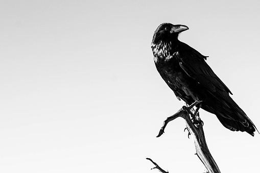 Black and white picture of beautiful raven standing on the branch