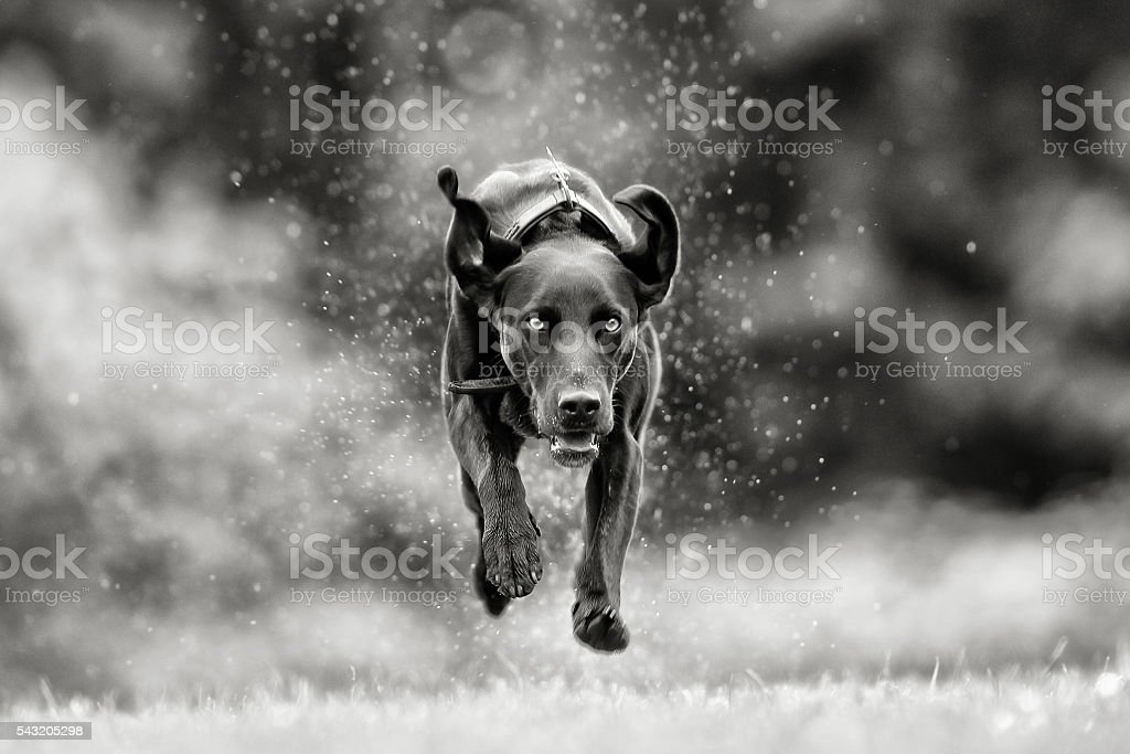 Black and white picture of mixed breed dog stock photo