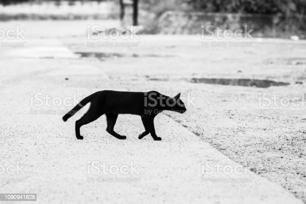 Black and white pictures of black cats walking through the road to picture id1090941628?b=1&k=6&m=1090941628&s=612x612&h=00ss34llnufevepfk84g bd90cfystfk3jds1lquzwo=