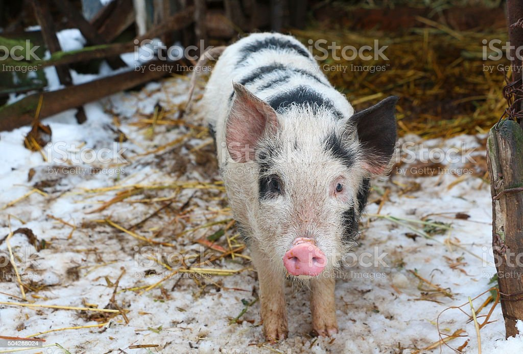 Black and white pig on russian farm watching in camera stock photo