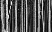 A monochrome image of pine tree trunks. A unique pattern of black and white tree trunks. Image has a moody feel with the various shades of linear angles and branches. This is a dense pine forest in the Canadian Rockies. Image is artistic and balanced with a stark and simple composition. Near Banff National Park, Alberta, Canada. Scenic natural landscape in one of the world's prettiest national parks.