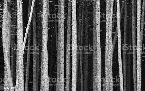 Photo of Black and White Pine Tree Trunks Background