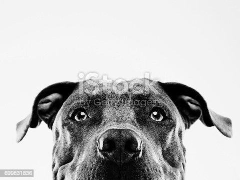 istock Black and white pit bull dog studio portrait 699831836