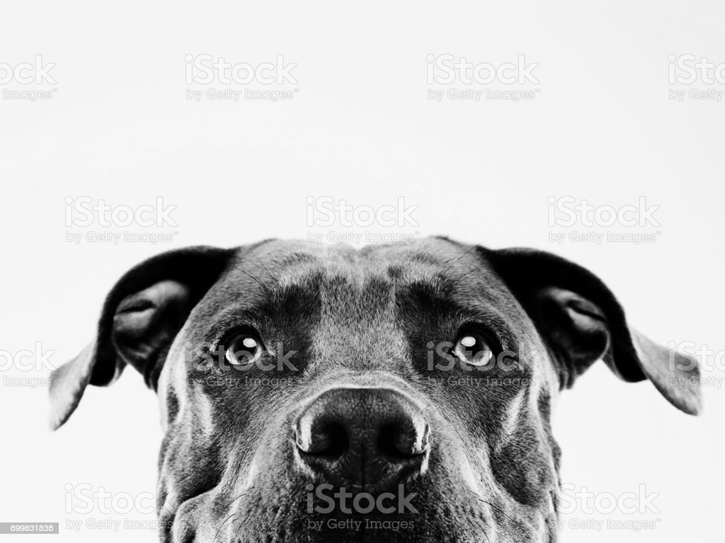 Black and white pit bull dog studio portrait stock photo