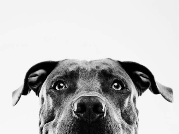 Black and white pit bull dog studio portrait stock photo