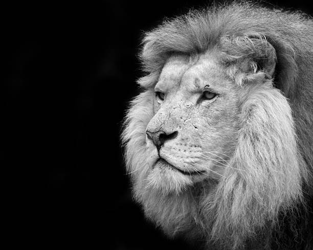 Black and white portrait of a lion stock photo