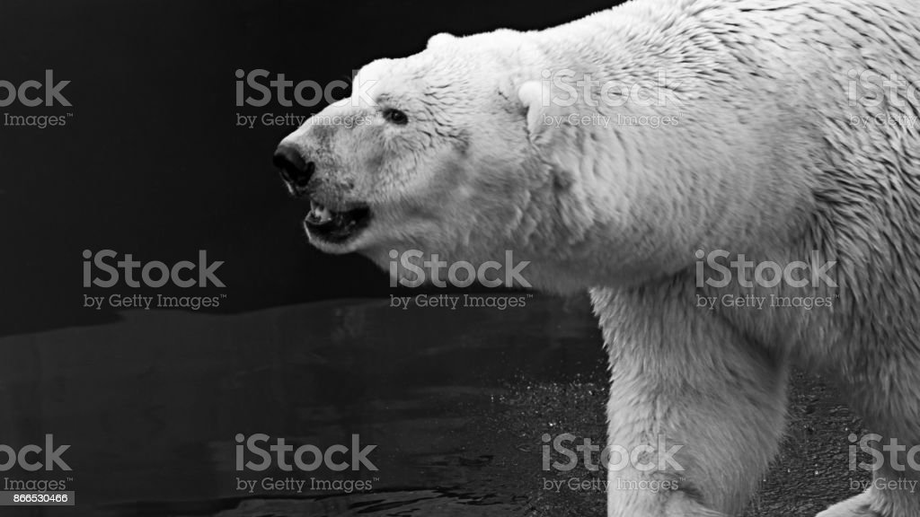 Black and white portrait of an adult polar bear (Ursus maritimus) against water background stock photo