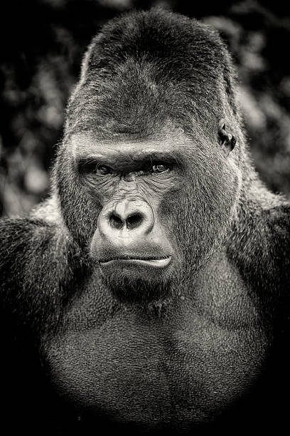 Top 60 Angry Gorilla Stock Photos, Pictures, and Images ... - photo#33