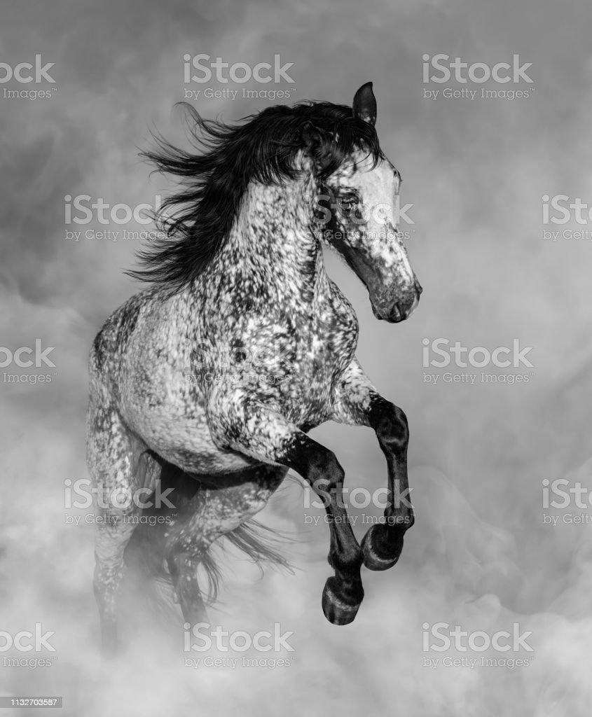 Black And White Portrait Of Appaloosa Horse Stock Photo Download Image Now Istock