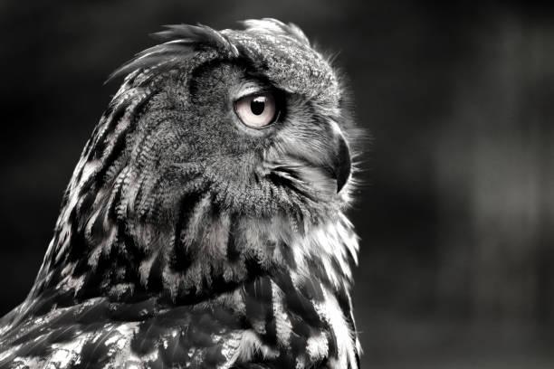 Black and white portrait owl picture id1030012726?b=1&k=6&m=1030012726&s=612x612&w=0&h=mlivwchnf8gc4hww6r2kqznyysofdg6be kk6wye9 o=