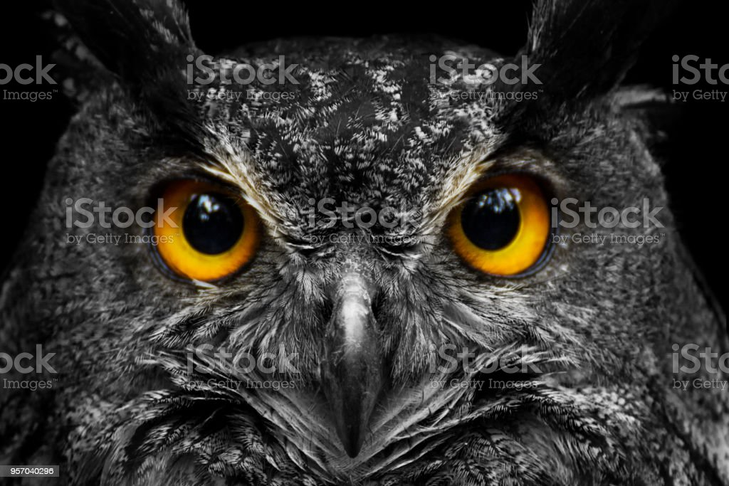 Black and white portrait owl with big yellow eyes royalty-free stock photo