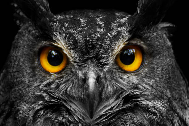 black and white portrait owl with big yellow eyes - owl stock photos and pictures