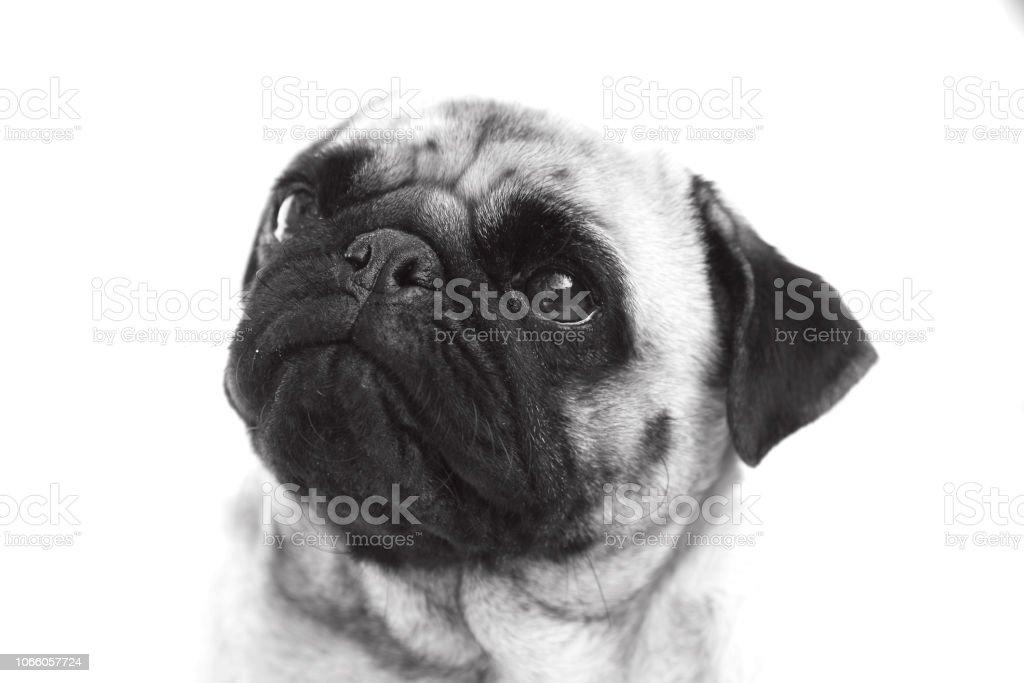 Black and white pug stock photo