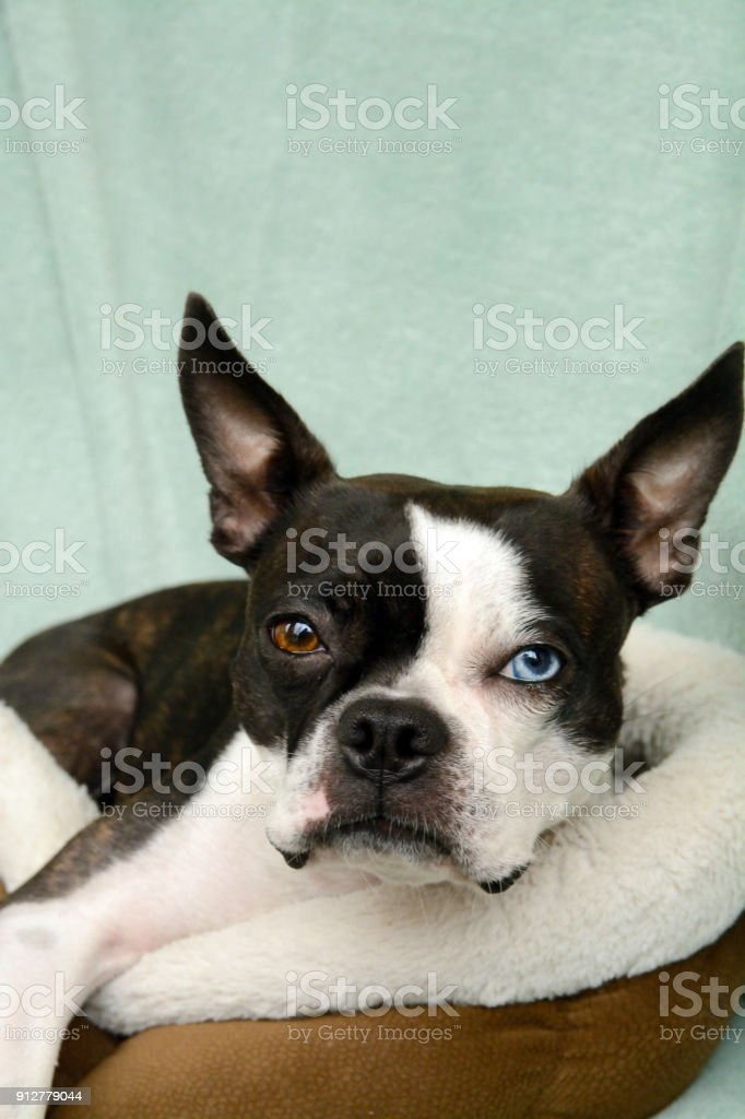Black And White Puppy Toybreed Dog Boston Terrier Poses For A Family