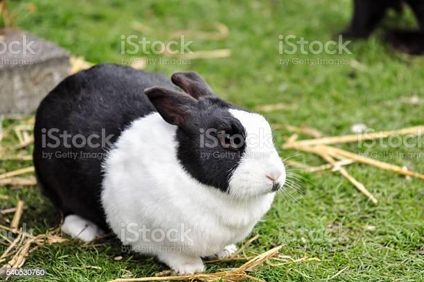 Black and white rabbit in a farm netherlands picture id540530760?b=1&k=6&m=540530760&s=612x612&h=dfrqahlgpg9a1f32gvfwmwmjhhszymxpdkddw6b6kck=