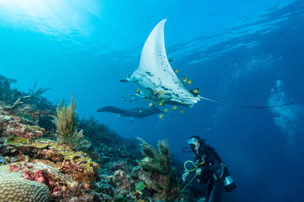Black and white reef manta ray flying around a cleaning station in cristal blue water stock photo